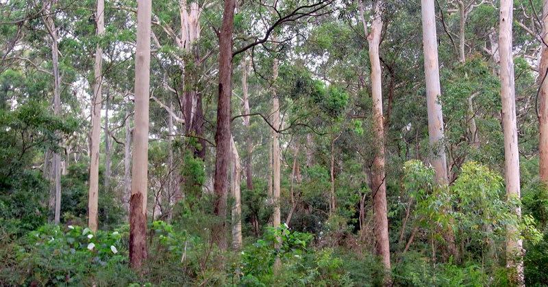 Australian Blackbutt Trees | LI 1