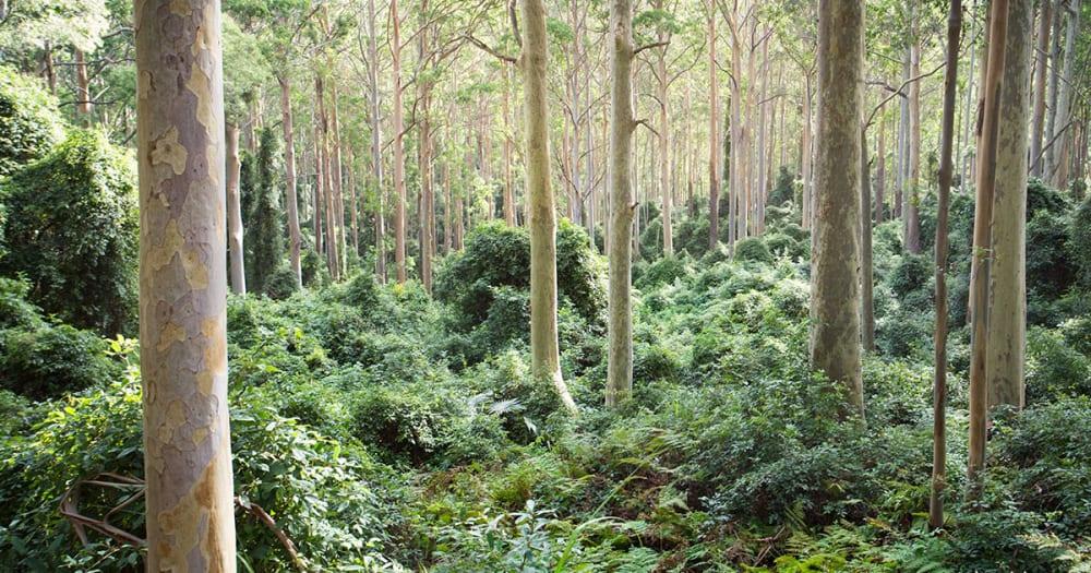 Australian Spotted Gum Trees