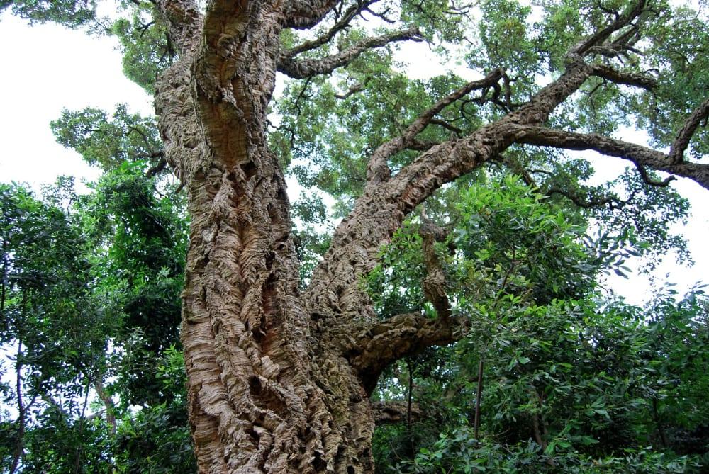 News | AU | Cork Sustainable | Cork Oak Tree