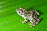 Fanged frogs, dwarf crocodiles and...