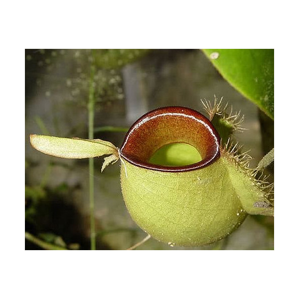 Nepenthes ampullaria hot lips - pitcher plant - 10 seeds