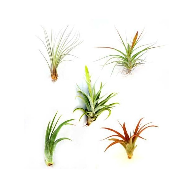 Wholesale Air Plants - One Dozen Classic Variety - 12 Air Plants at a Great Price! Free Shipping for Air Plant Shop orders over $45 - Bulk Air Plants