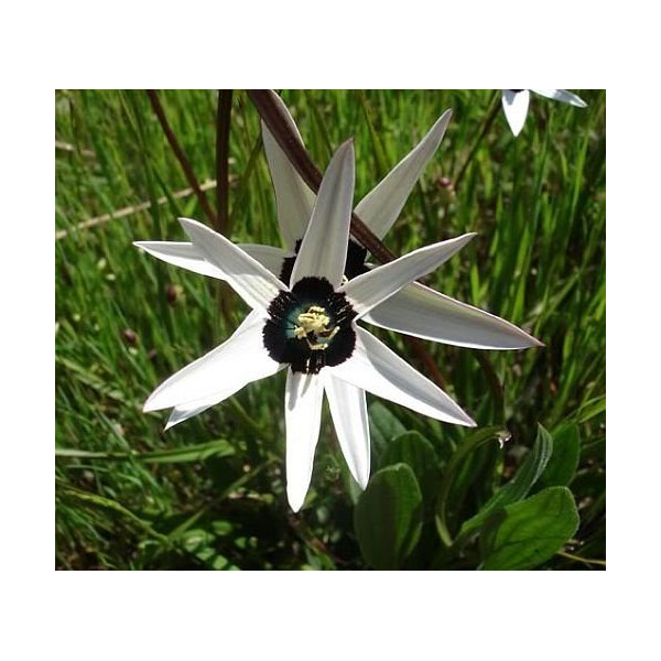 Spiloxene capensis white - golden star - 10 seeds