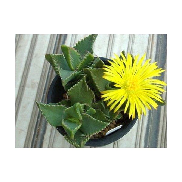 Faucaria britteniae - Tigers Jaw Succulent - 10 seeds