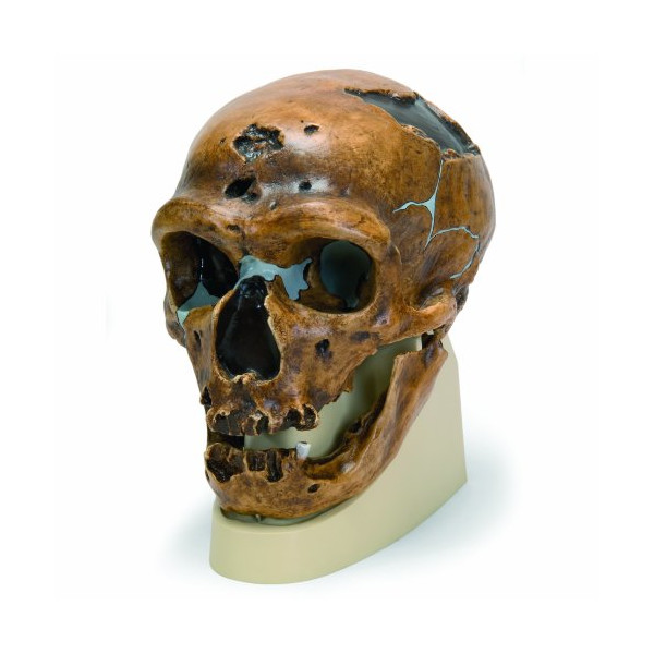 "3B Scientific VP751/1 La Chapelle-aux-Saints Anthropological Skull Model, 8.7"" x 6.3"" x 8.9"""