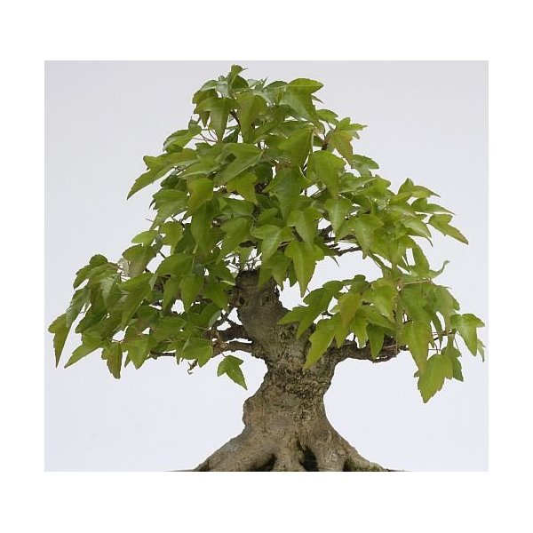 Acer buergerianum - Trident maple - 25 seeds