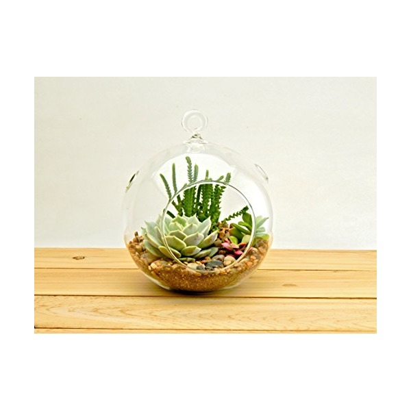 "Succulent Terrarium Kit 3 Succulents, 5"" Round Glass Globe, River Rocks and Soil"
