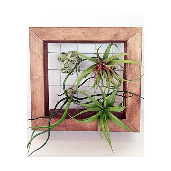 Wooden Frame + 4 Airplants