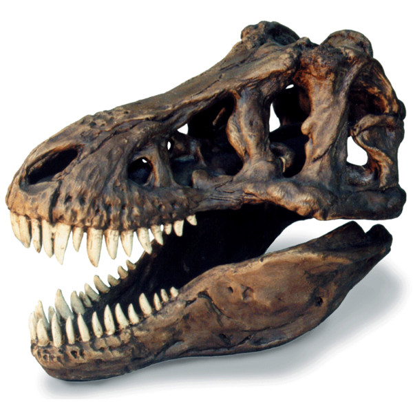 T-Rex Skull Large W/Stand