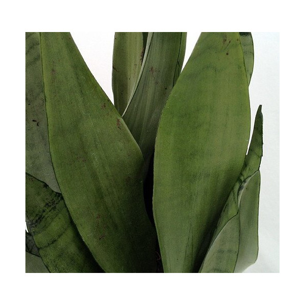 "'Moonshine' Snake Plant - Sanseveria - Almost Impossible to kill - 4"" Pot"