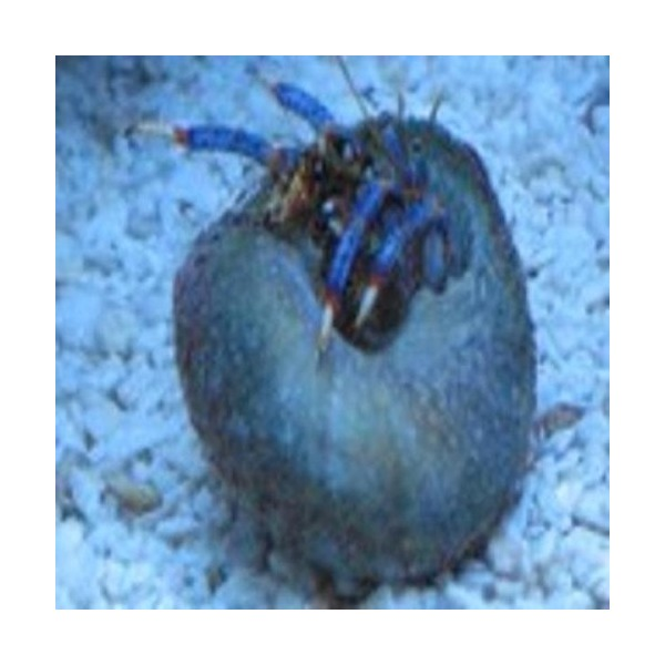 Blue Leg Hermit Crab 50 Pack