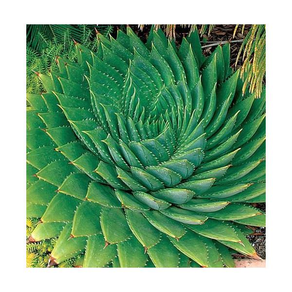 Aloe polyphylla - spiral aloe - 3 seeds