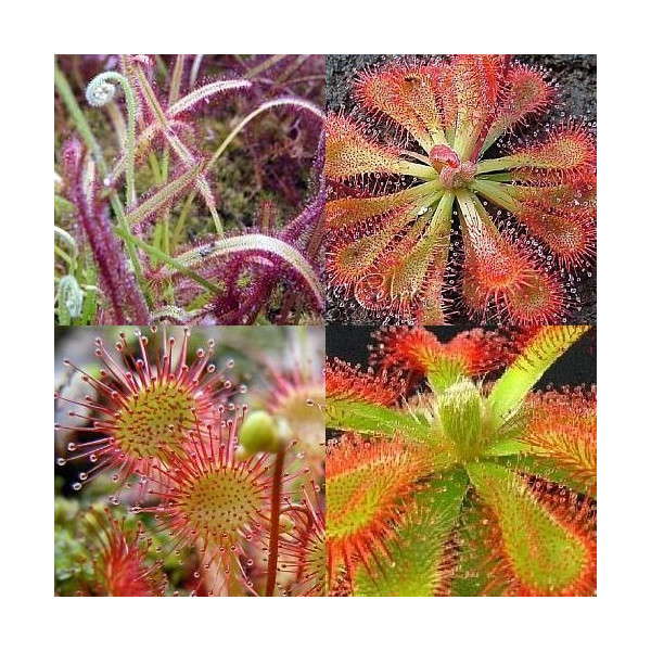 Drosera mix - Drosera Mix - 10 seeds