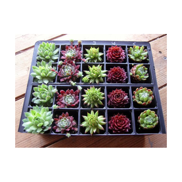 A Collection of 20 Sempervivum Plants 5 varieties
