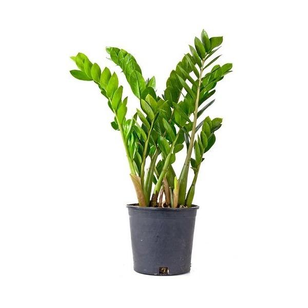 """Rare ZZ Plant-Zamioculcas zamiifolia - House Plant - Bonsai - 4"""" Pot"""