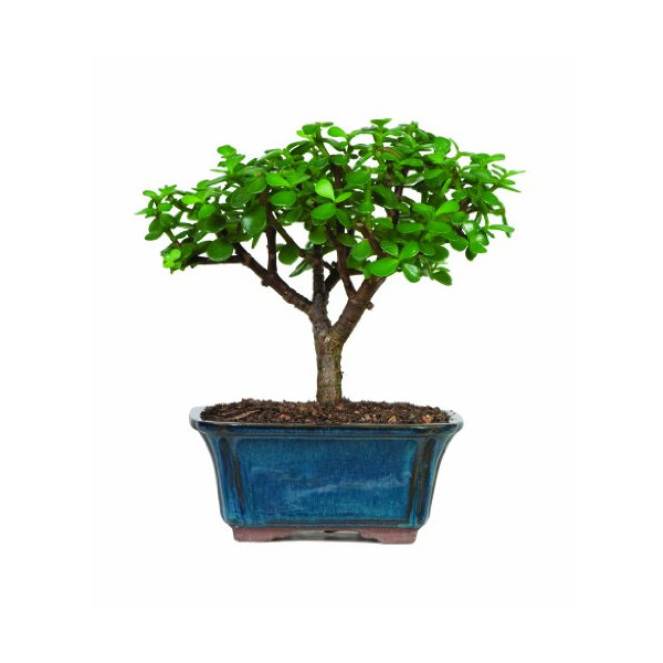 Brussel's Jade Bonsai