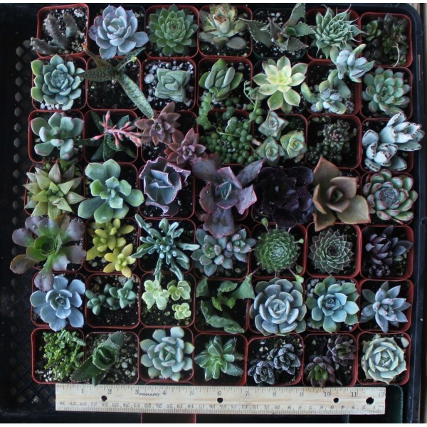 "20 Gorgeous Succulents in 2"" plastic pots"