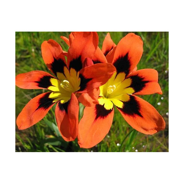 Sparaxis tricolor - Harlequin flower - 10 seeds