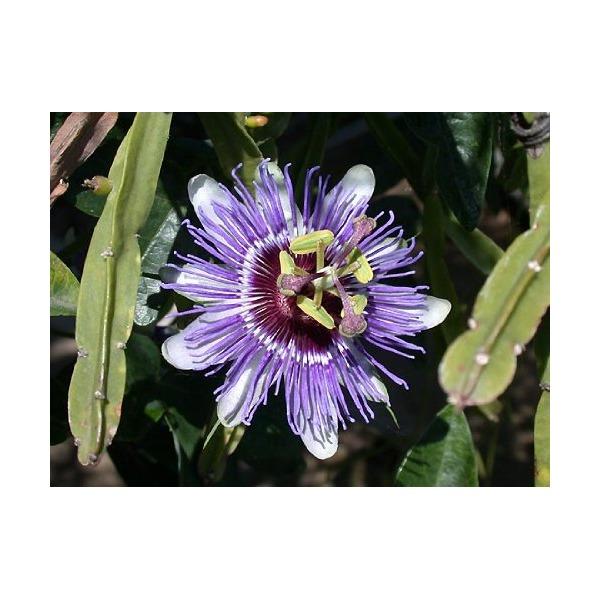 Edible Passion Vine Plant - Passiflora caerulea - Exotic!