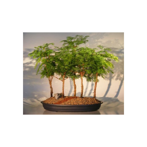 Bonsai Boy's Redwood Bonsai Tree - 5 Tree Forest Group metasequoia glyptostroboides