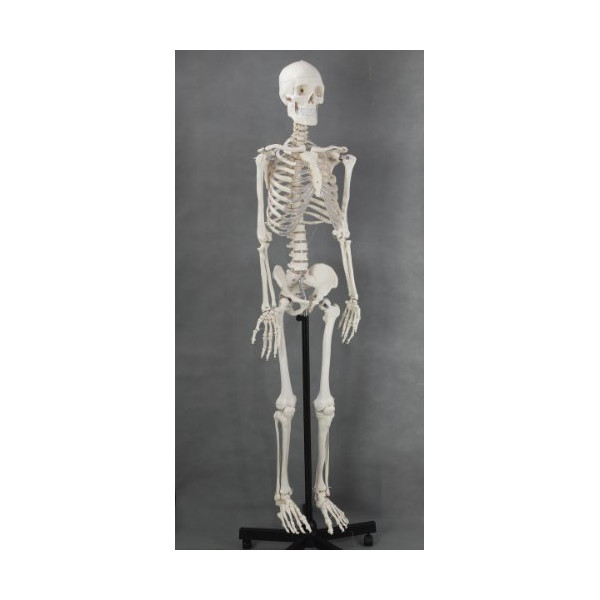 Life-size Medical Anatomical Human Skeleton Model, 170cm, Stand Included