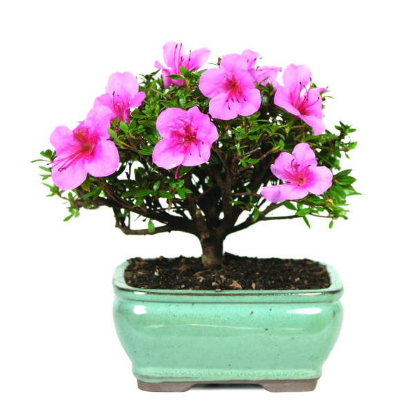 Satsuki Azalea Outdoor Bonsai Tree