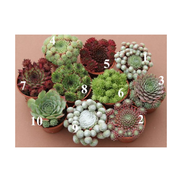 3 x Sempervivum Hens & Chicks Mother Plant In 9cm Pot Ready For Taking Cuttings