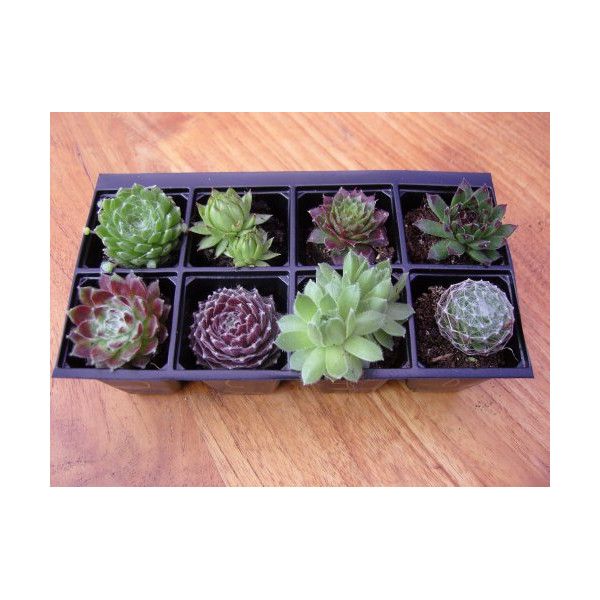 A Collection of 8 Sempervivum Plants