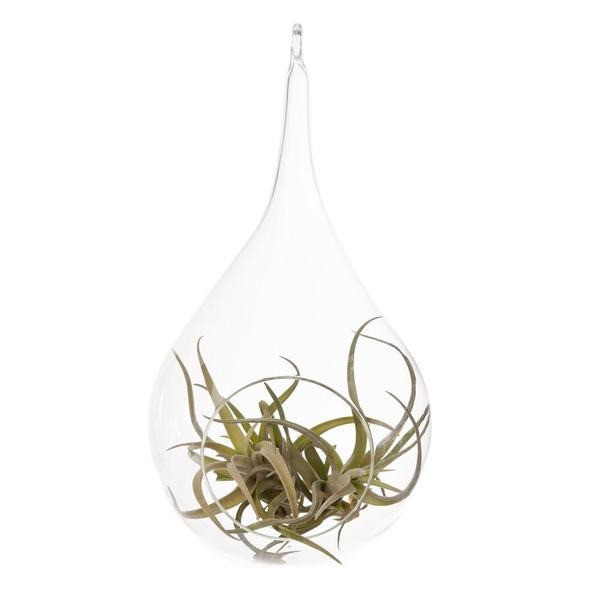 Hinterland Trading Air Plant Tillandsia Bromeliads Kit Teardrop Terrarium with Pebbles and Moss