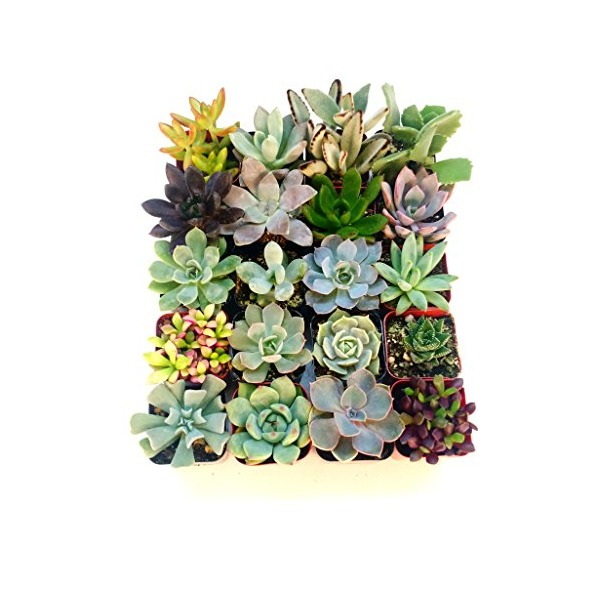 "Succulent Terrarium & Fairy Garden Plants - 5 Different Plants in 2"" Pots"