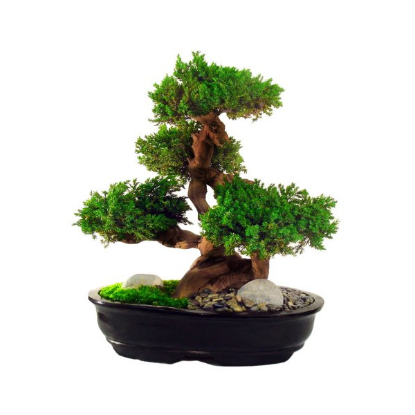 Forever Green Art Preserved Monterey Bonsai, Large