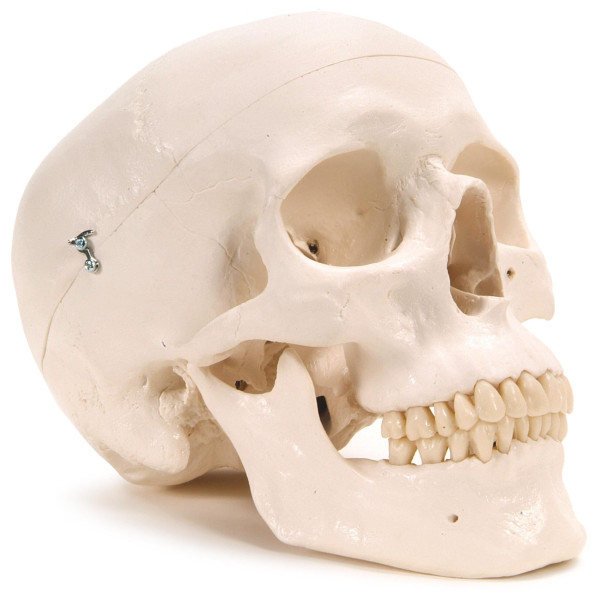 3B Scientific Plastic Human Skull Model