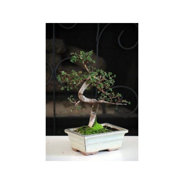 "9GreenBox - Live Chinese Elm Bonsai 10 Years Old in 8"" Ceramic Vase"