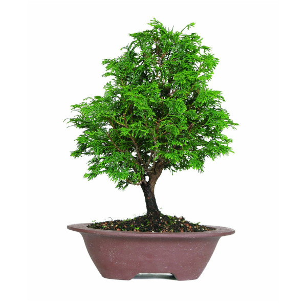 Brussel's Hinoki Cypress Bonsai