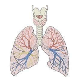 Human lungs diagram