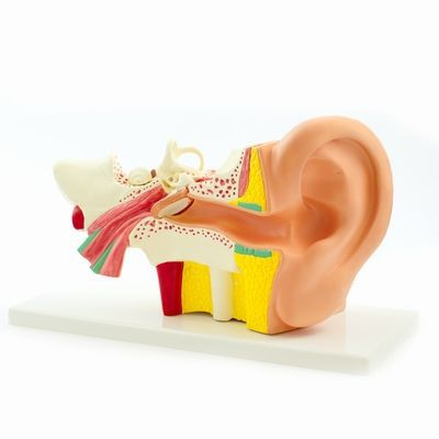 Ear canal anatomical model H127119 RÜDIGER - ANATOMIE
