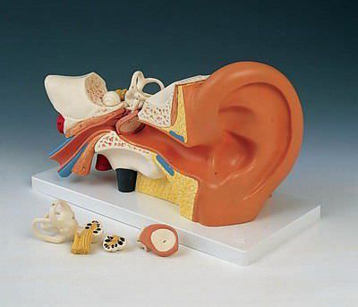 Ear canal anatomical model E 10 RÜDIGER - ANATOMIE