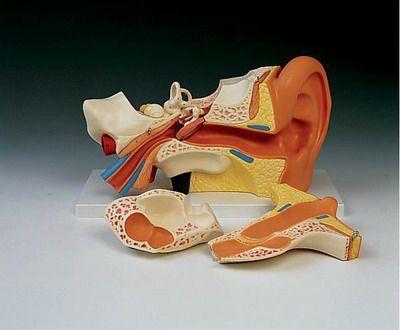 Ear canal anatomical model E 11 RÜDIGER - ANATOMIE