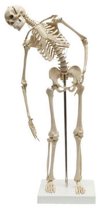 Skeleton anatomical model / miniature / with flexible spine MI200.2 RÜDIGER - ANATOMIE