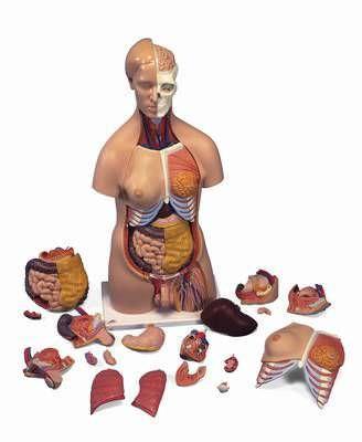 Torso anatomical model / dual-sex B 32 RÜDIGER - ANATOMIE