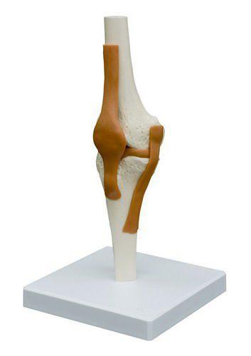 Knee anatomical model / joints A252 RÜDIGER - ANATOMIE
