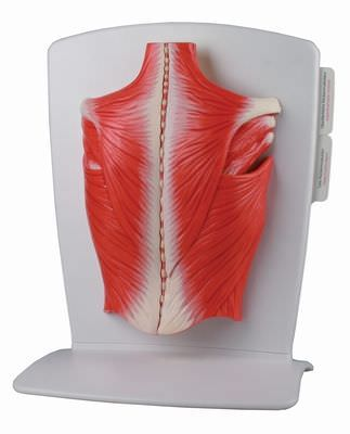 Back anatomical model / muscle M290 RÜDIGER - ANATOMIE