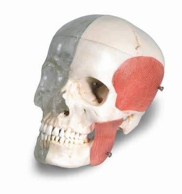 Skull anatomical model / articulated / semi-transparent A282 RÜDIGER - ANATOMIE