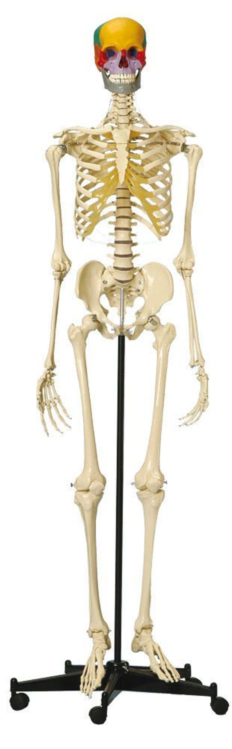 Skeleton anatomical model / articulated A200.5 RÜDIGER - ANATOMIE