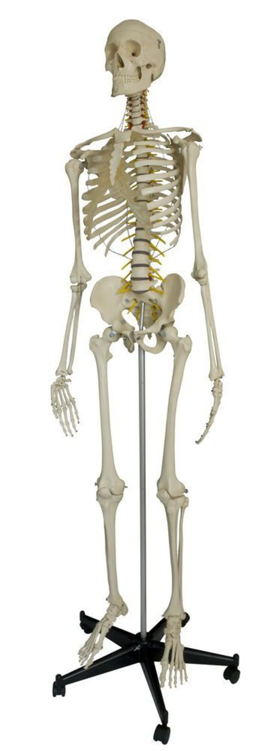 Skeleton anatomical model / with flexible spine / articulated A200.2 RÜDIGER - ANATOMIE
