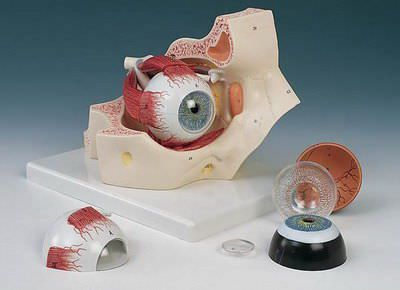 Eye anatomical model / with orbit F 13 RÜDIGER - ANATOMIE