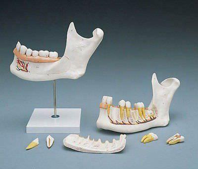 Mandible anatomical model D 25 RÜDIGER - ANATOMIE