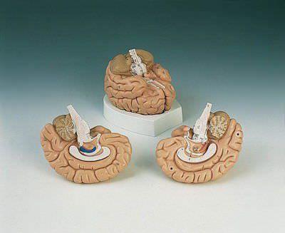 Brain anatomical model C 15 RÜDIGER - ANATOMIE