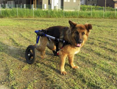 Passive wheelchair / veterinary Walkin' Wheels Walkin' Wheels