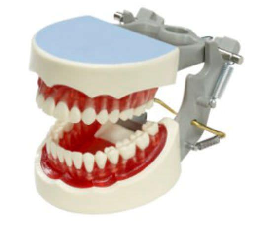 Denture anatomical model M-YNR-1560 Columbia Dentoform®